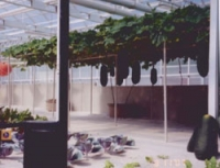 Winter Melon (Asian Vegetable)