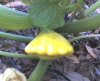Growing Pattypan Squash