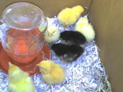 Raising Chickens - The Basics To Get Started