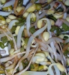 Making Your Own Bean Sprouts