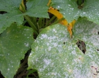 Preventing Powdery Mildew in Your Spring Garden