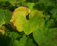 Zucchini and Powdery Mildew